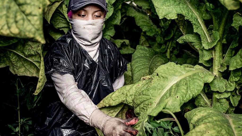 Farmworker picking tobacco wearing a garbage bag