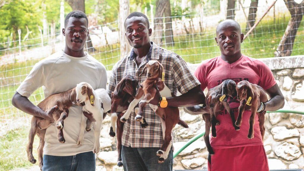 Three Haitian men hold baby goats