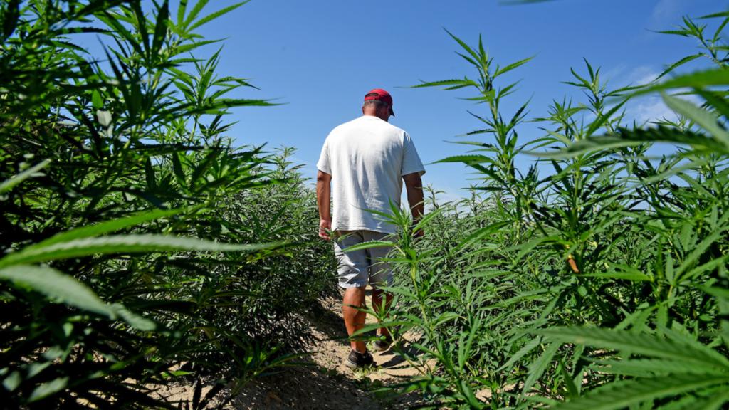 Man walks in marijuana field